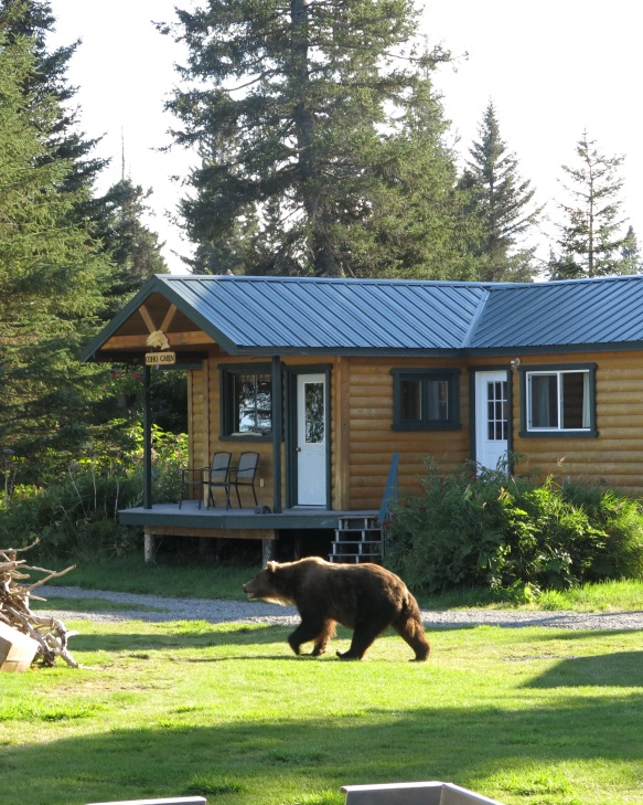 A Mama Grizzly walking past my lodge.